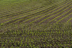 Rows of corn sprouts beginning to grow. 