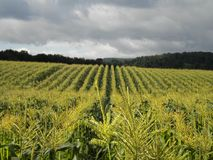 Rows and Rows of Corn Royalty Free Stock Photography
