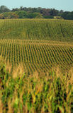 Rows of cornstalks on a farm Stock Images