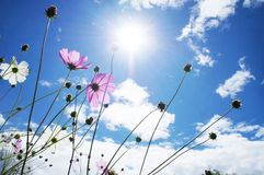 Rows of cosmos in China lijiang royalty free stock photography