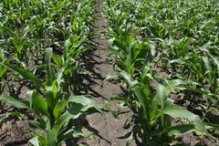Rows of crops Royalty Free Stock Photography