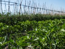 Rows Cultivated field and blue sky. Portion of field with rows of cultivated vegetable plants in perspective, wide portion of sky royalty free stock photo