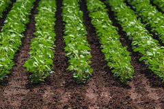 Rows of cultivated soy bean crops Stock Photo