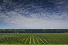 Rows of currant bush seedlings as a background composition Stock Images