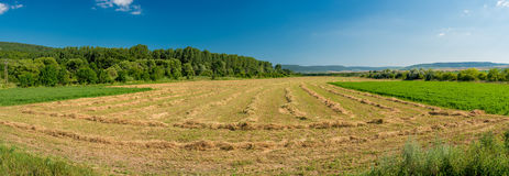 Rows of cut alfalfa cure in a hay field. Royalty Free Stock Image