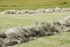 Rows of cut hay windrow Royalty Free Stock Photos