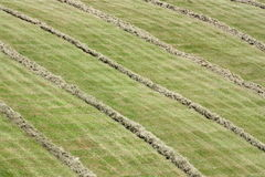 Rows of cut hay windrow Stock Image