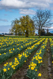 Rows of Daffodil Flowers on Farm. Rows of daffodils on farm with weeping willow tree and dramatic sky. Vertical. Copy space royalty free stock photos