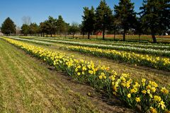 Rows of daffodills Stock Photography