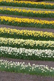 Rows of Daffodils Royalty Free Stock Images