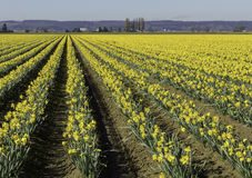 Rows of Daffodils in Skagit Valley, Washington Royalty Free Stock Photos