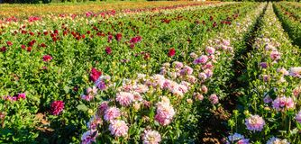 Rows of dahlias background Royalty Free Stock Photo