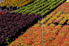 Rows Of Decorative Plants In a Nursery Setting Royalty Free Stock Photography