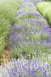 Different varieties of Lavender plants. Rows of different colors of lavender plants stock images