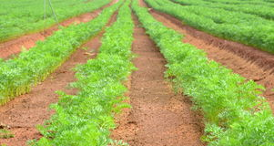 Rows of dill in an agricultural farm. Rows of dill in a plowed field farm Royalty Free Stock Photography