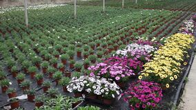 Rows of dimorfoteca plants in pots in greenhouse, no people