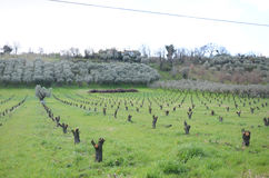 Rows of dry vines and olives Stock Image