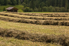 Rows of drying grass hay with wooden barn Stock Images