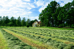 Rows of drying hay in front of Royalty Free Stock Images