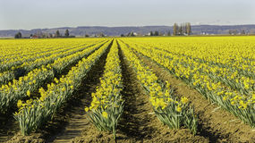 Rows of Early Daffodils Royalty Free Stock Images