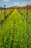 Rows of empty grape vines with flowers. Royalty Free Stock Images