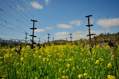 Rows of empty grape vines with flowers. Royalty Free Stock Photography