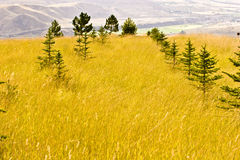 Rows of evergreen trees Royalty Free Stock Image