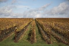Rows of Fall/Autumn Colored Trestled Grapevines. Vineyard - Forward View of Rows of Fall/Autumn Colored Trestled Grapevines Against a Background of Green Grass stock photos