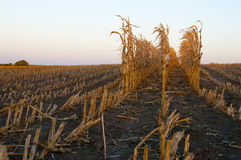Rows of fall corn stalks Royalty Free Stock Photography