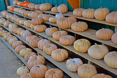 Rows of field pumpkins for sale. Stock Photography