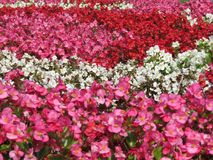Rows of flowers in colors: pink, red and white Stock Photos