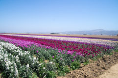 Rows of flowers growing in California Stock Photos