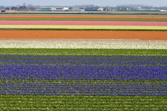 Rows of Flowers in Holland Stock Photography