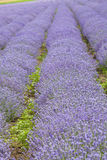 Rows of flowers. Lavenders field. Rows of flowers in the lavenders field Stock Photos