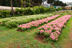Flowers plantation in the countryside of Thailand Stock Photos