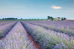 Rows of french lavender stock images