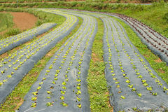 Rows of fresh green lettuce growing Royalty Free Stock Photography