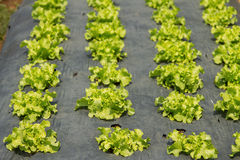 Rows of fresh green lettuce growing Royalty Free Stock Images