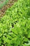 Rows of fresh lettuce Stock Image