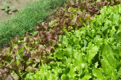 Rows of fresh lettuce Stock Photography