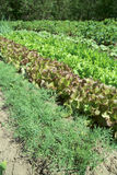 Rows of fresh lettuce Royalty Free Stock Photography