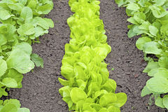 Rows of fresh lettuce plants Royalty Free Stock Photos