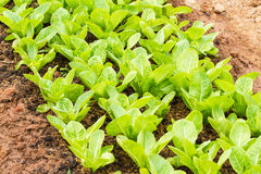 Rows of fresh lettuce plants on a fertile field Stock Images