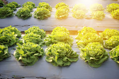 Rows of fresh lettuce plants on a fertile field. For background Royalty Free Stock Photography