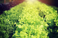Rows of fresh lettuce plants on a fertile field. For background Stock Photo
