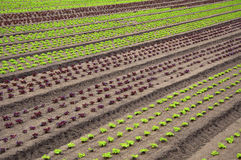 Rows of fresh young green and red lettuces. royalty free stock photos