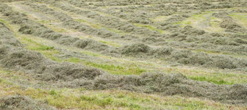 Rows of freshly mown hay Royalty Free Stock Images