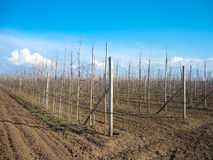 Rows of fruit trees Stock Photo