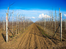 Rows of fruit trees. Without leaves in a large garden stock image