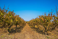 Rows of fruit trees Stock Photos